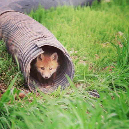 由仁町の子狐