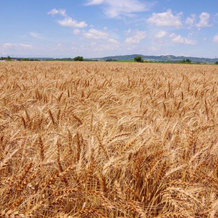 由仁町の麦畑