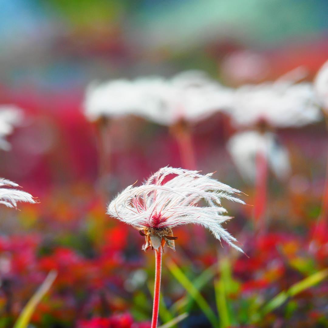 上川町のチングルマの綿毛