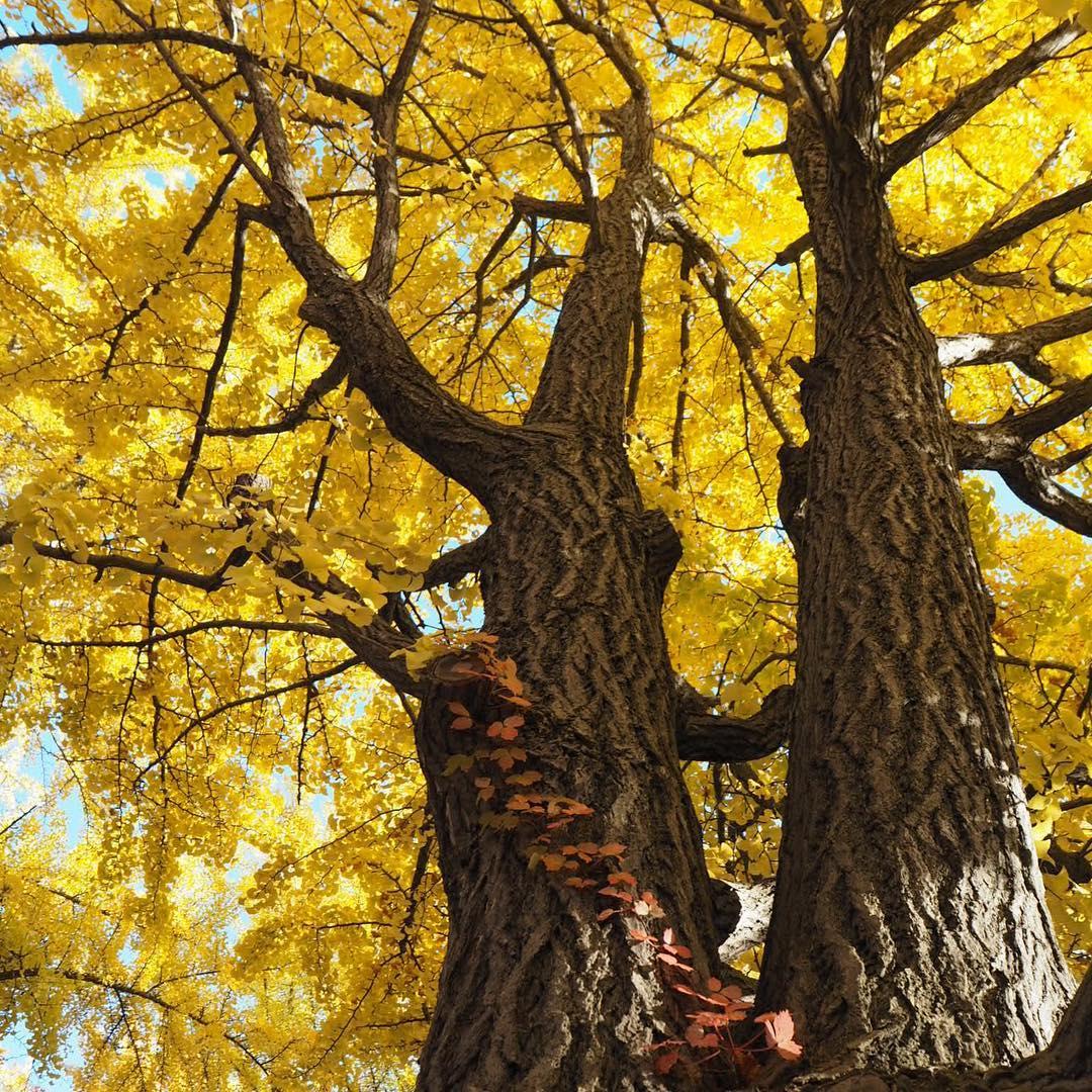 北海道大学の銀杏の木