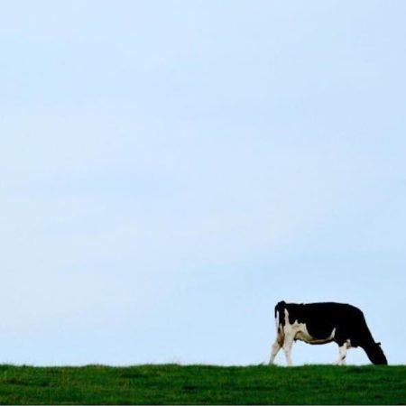 美瑛町で暮らす放牧の牛
