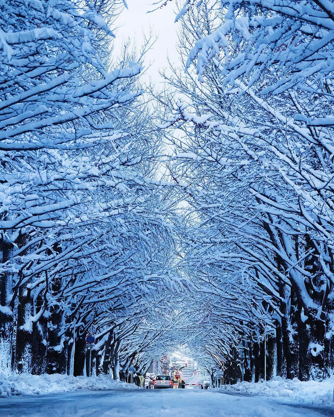 北海道大学の白い銀杏並木
