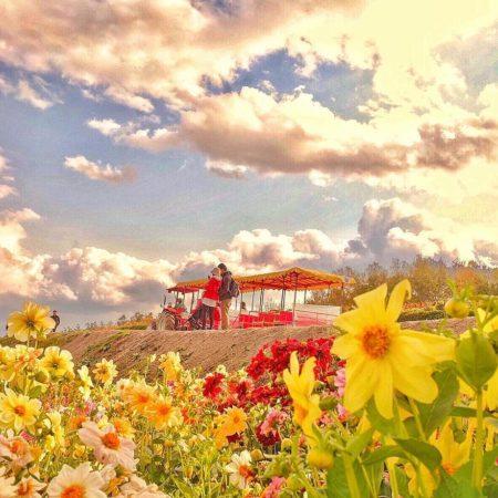 美瑛町の四季彩の丘