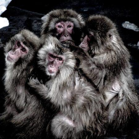 函館の温泉につかる猿達