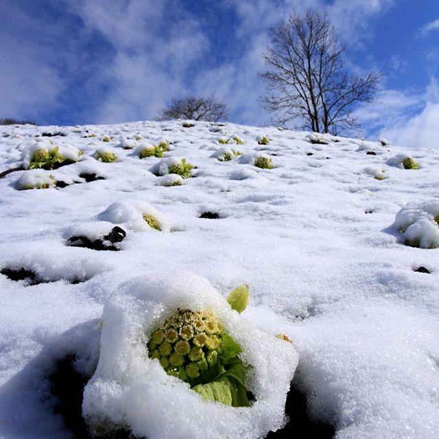 釧路町のフキノトウと雪