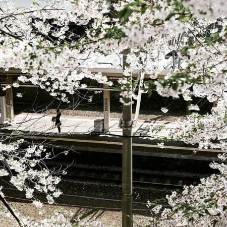 桜越しの南小樽駅