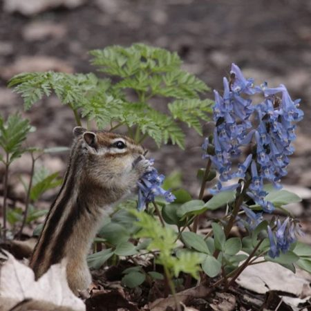Chipmunk eating corydalis ambigua in Abashiri