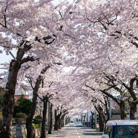 Arch of cherry blossoms in Hakodate