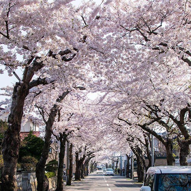函館市の桜のアーチ