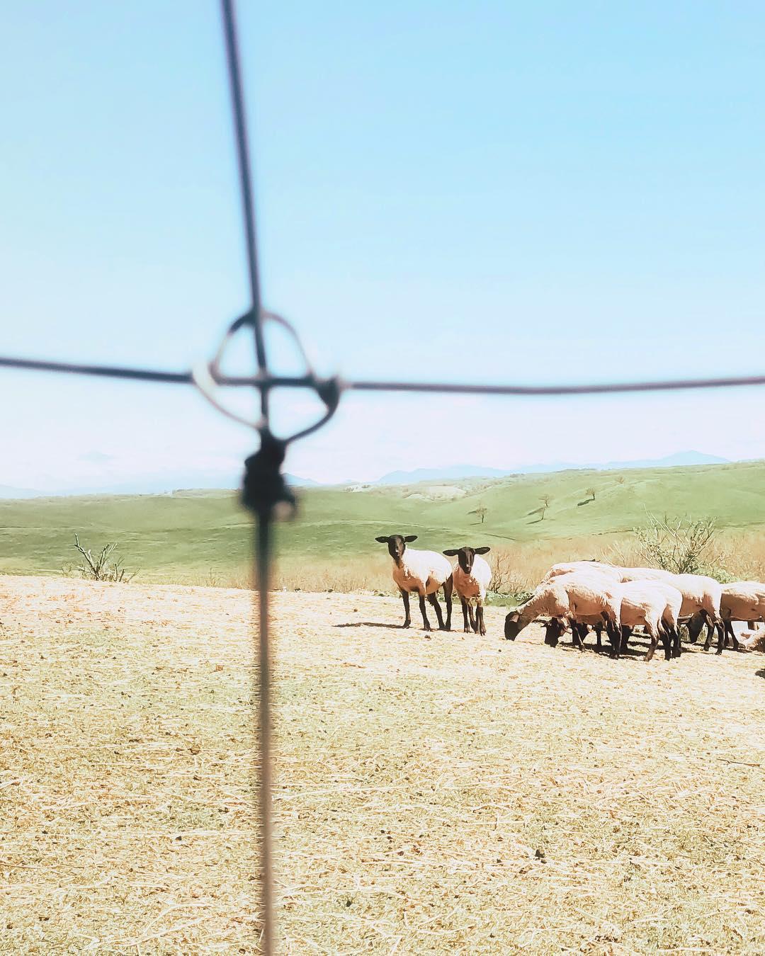 標茶町にある多和平展望台の羊