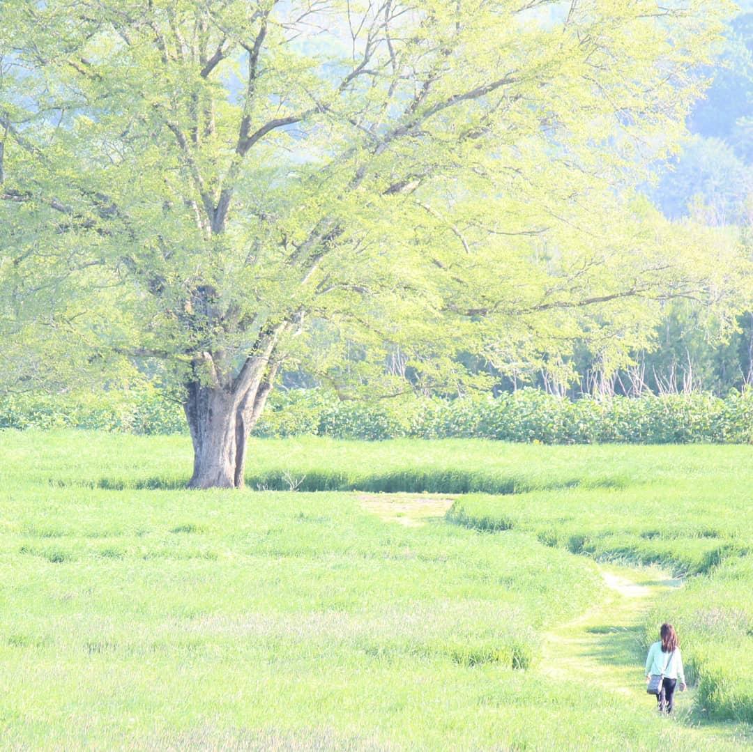 豊頃町のハルニレの木