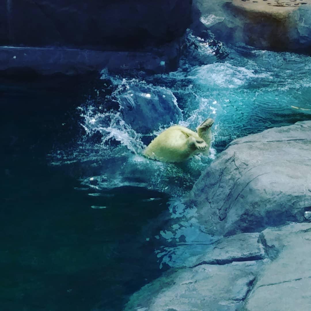 水に飛び込む札幌市円山動物園のシロクマ