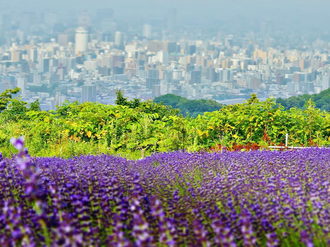 Lavender fields facing panorama of Sapporo