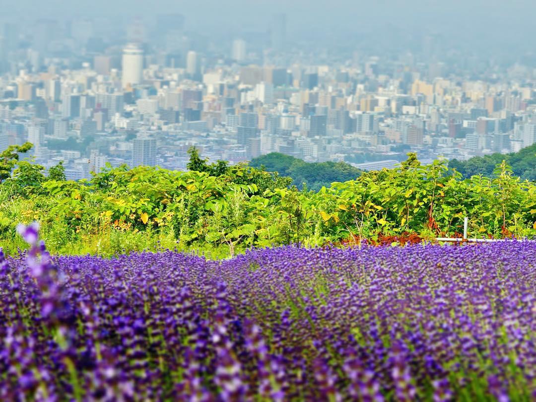 札幌の街を臨むラベンダー畑