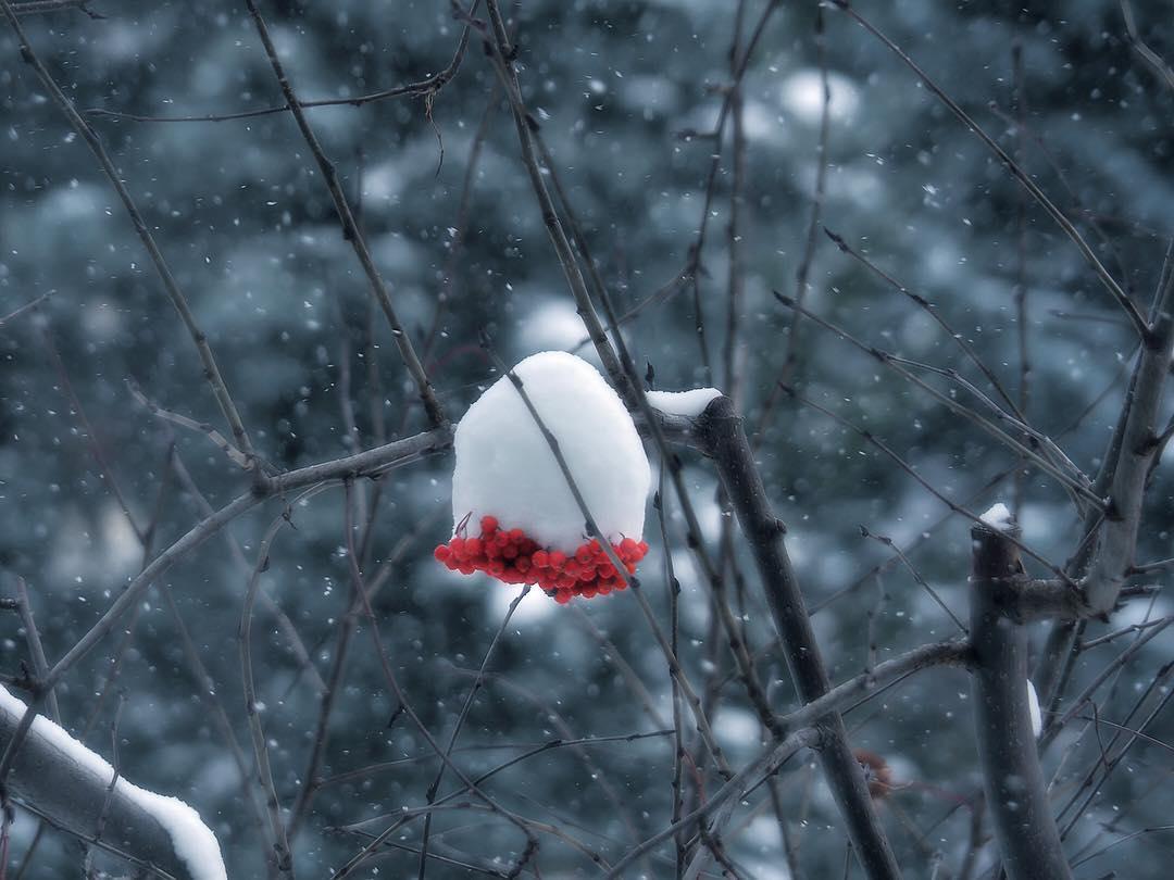 雪をかぶったナナカマド