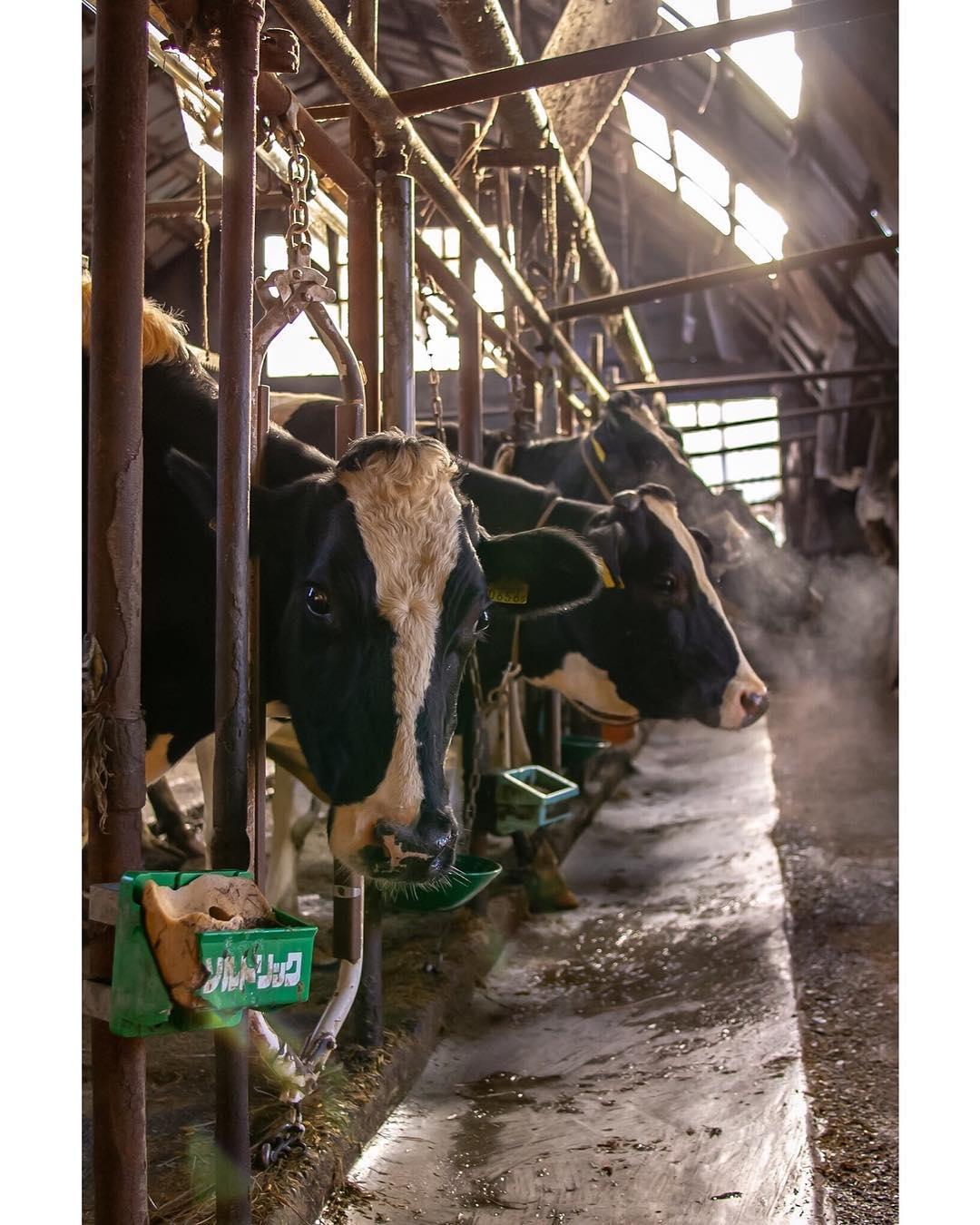 牛舎にいる牛達
