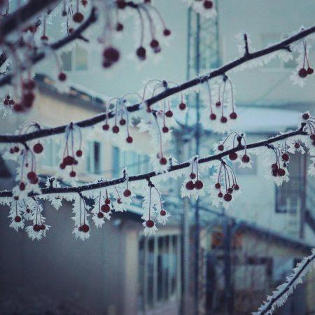 釧路市の霜のついたナナカマド