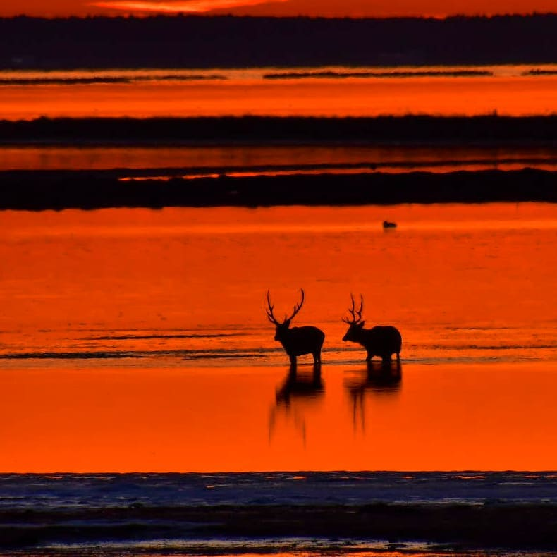 Two Ezo deers in Betsukai