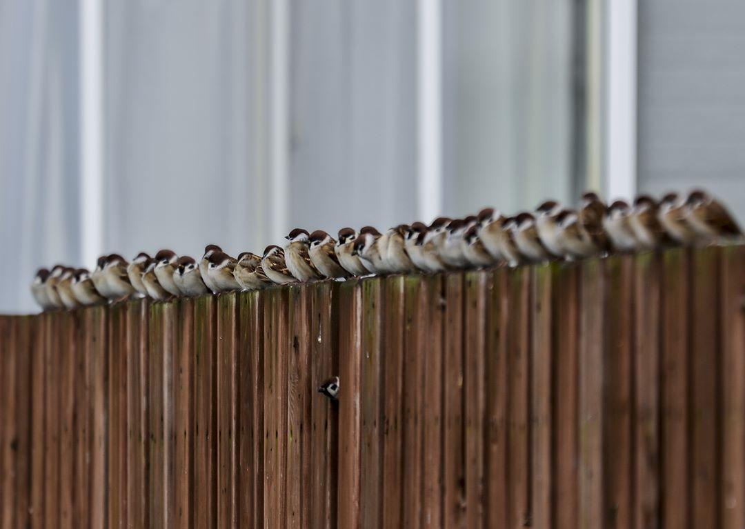 Sparrows forming line in Kimobetsu