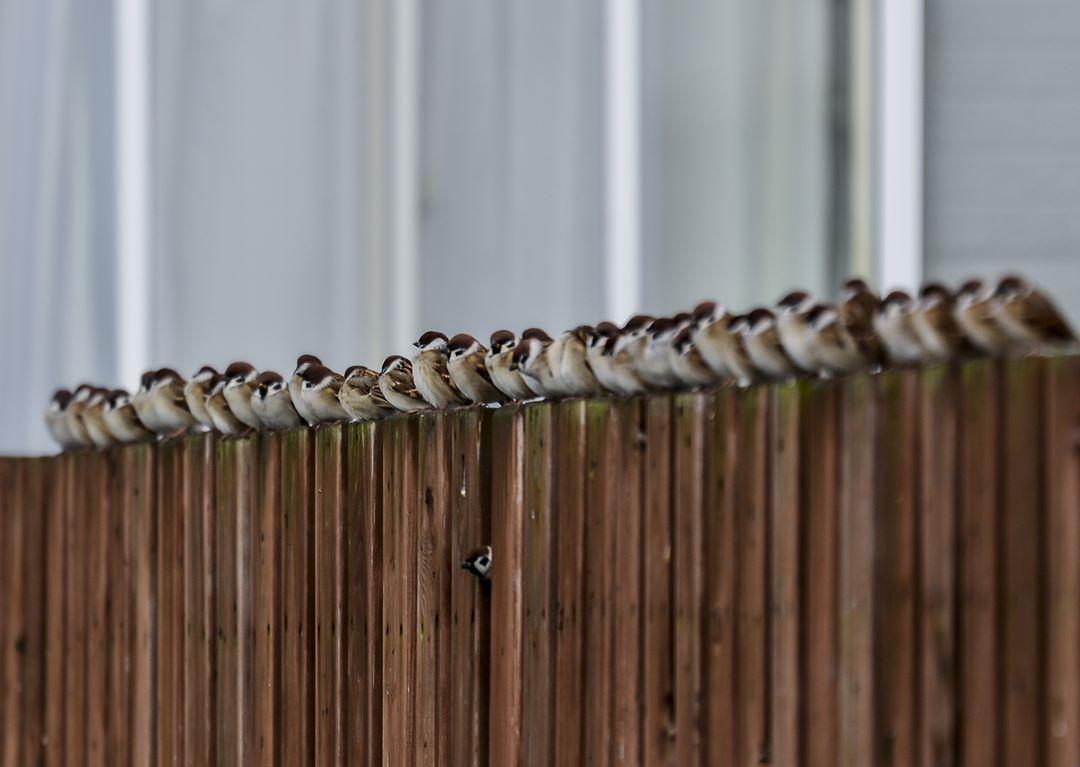 喜茂別町の一列に並んだスズメ