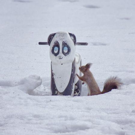Hokkaido squirrel at park in Nakashibetsu