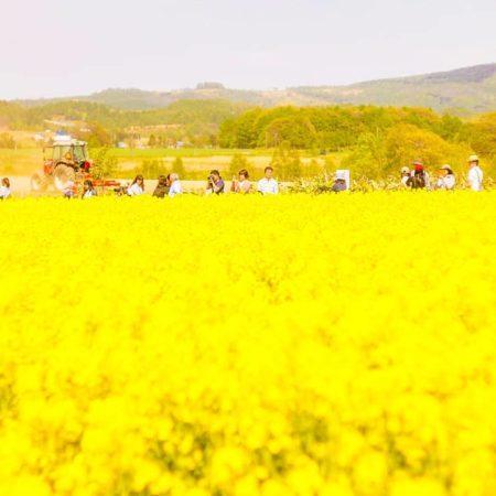 滝川の菜の花祭り