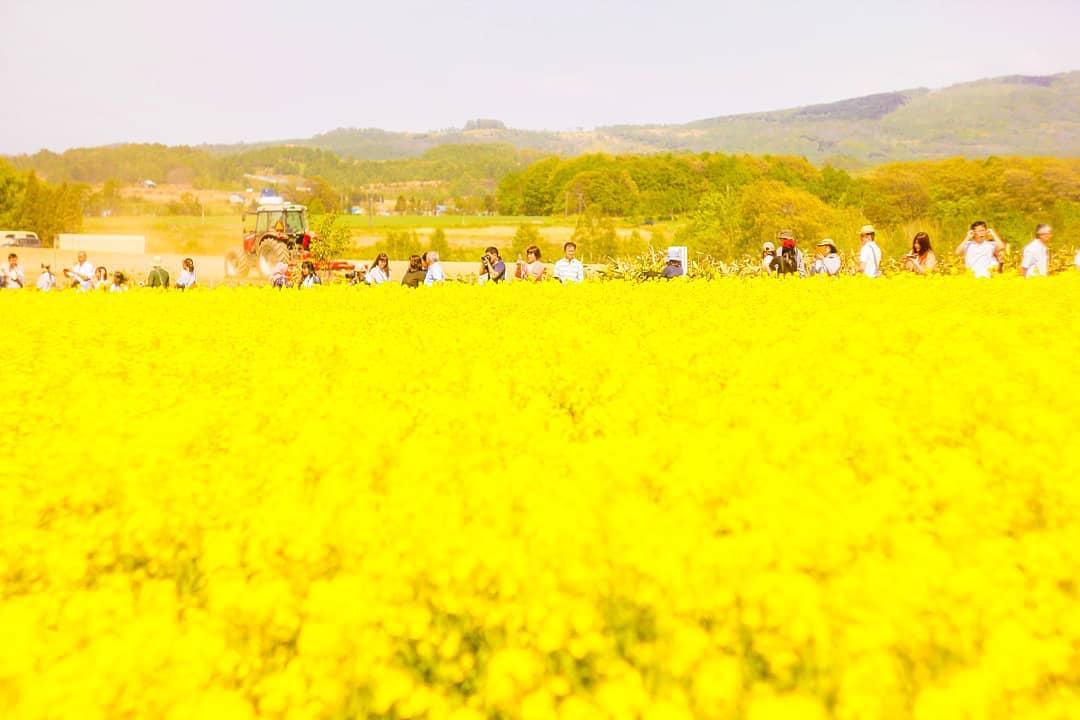Rape blossom festival in Takikawa