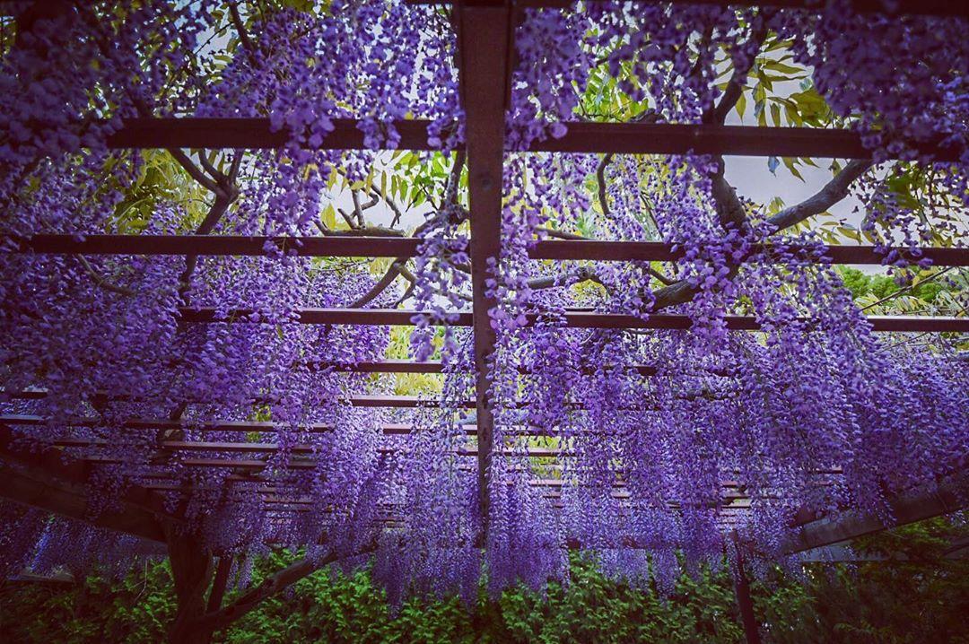 札幌市百合が原公園の藤棚