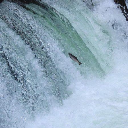 清里町でのサクラマスの滝登り