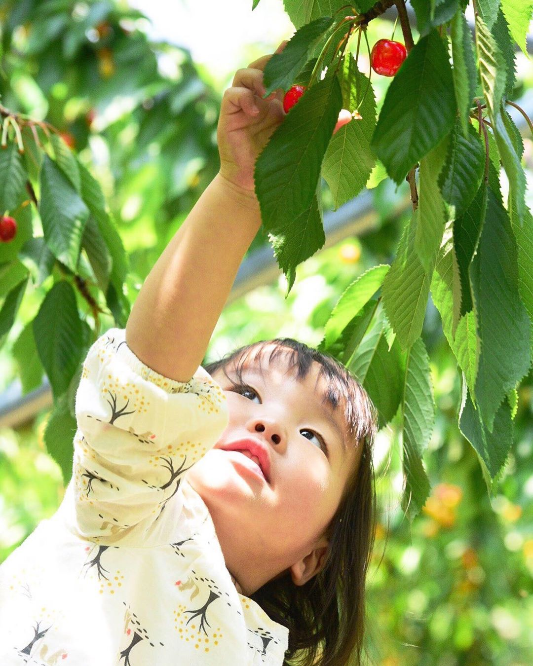 Cherry picking in Soubetsu