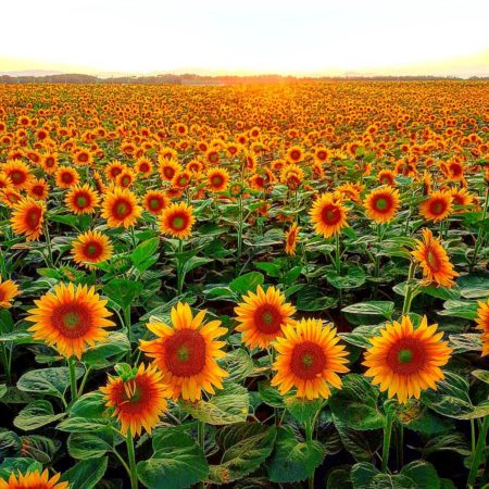 Sunflower field in Ozora