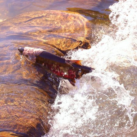 Salmon run in Yubetsu