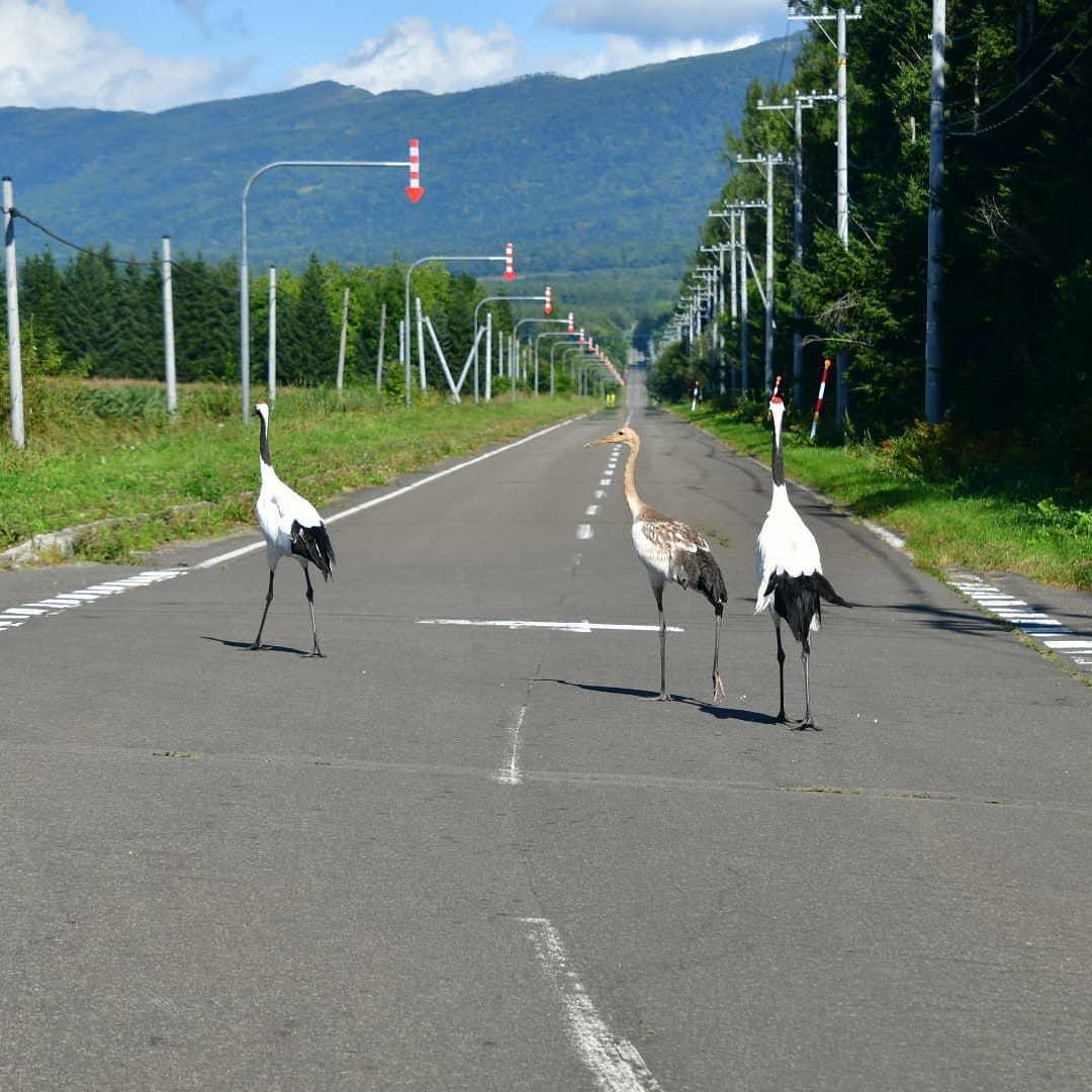 Crane taking a walk in Teshikaga