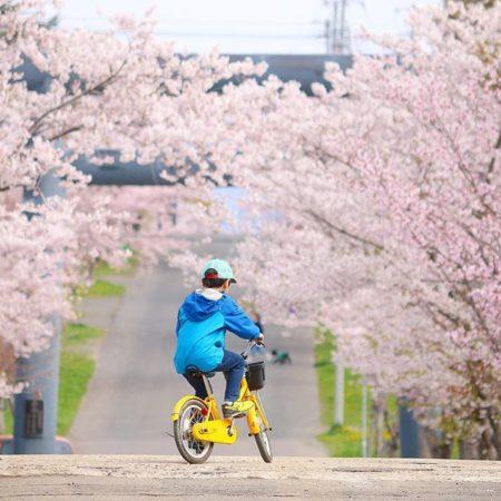 岩内神社の桜並木