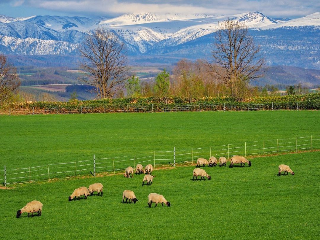Sheep on the hills of Biei
