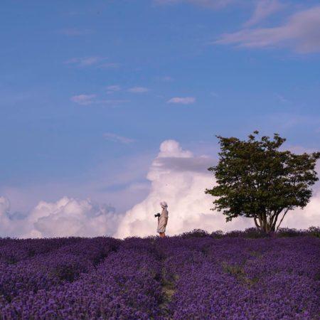 上富良野町のラベンダー畑