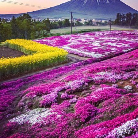 倶知安町の芝ざくら庭園