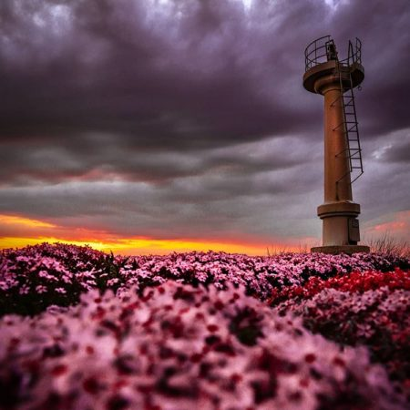 Moss phlox and  Lighthouse in Rumoi