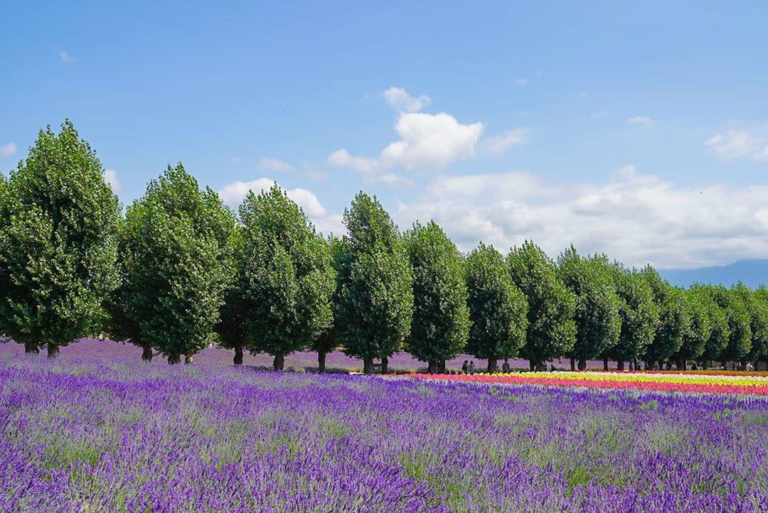 中富良野町の花畑