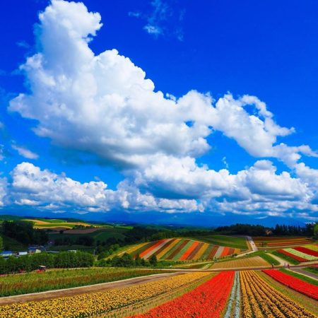 美瑛町の青空と花畑