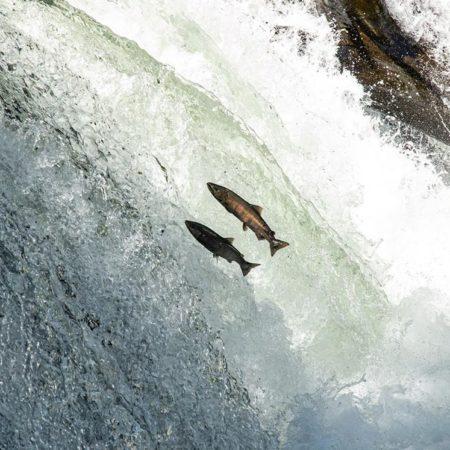 清里町の魚の遡上