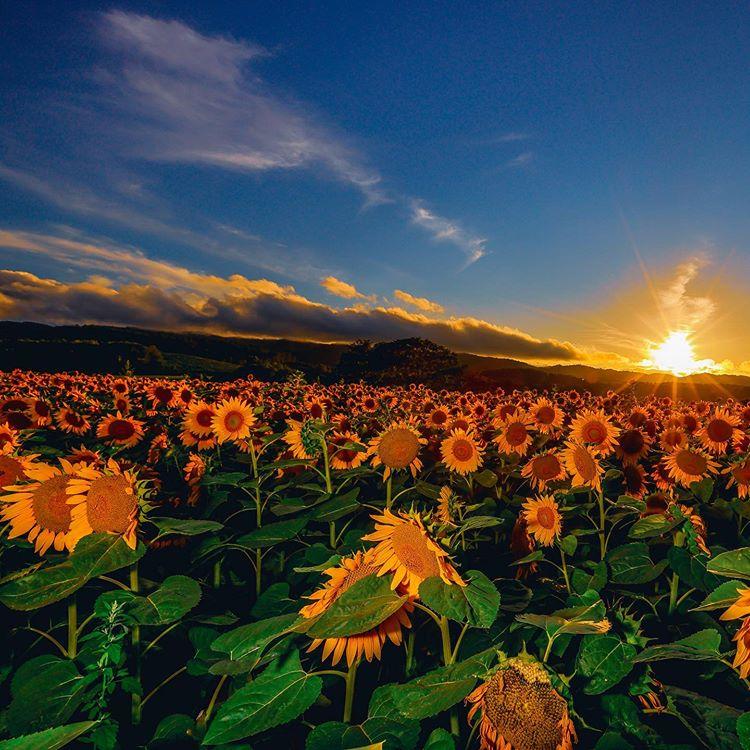 Sunflower field in Nayoro