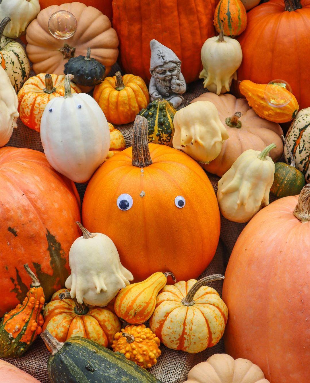 Halloween Pumpkins in Asahikawa