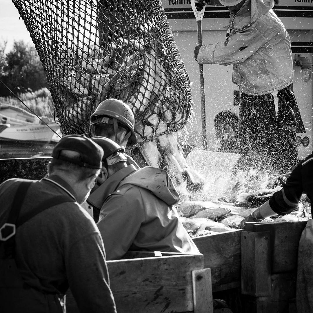 石狩市での鮭の水揚げ