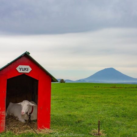 Goat in Toyako