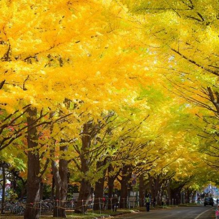 A row of ginkgo trees in Sapporo