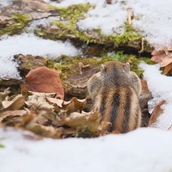 Back view of chipmunk in Sapporo