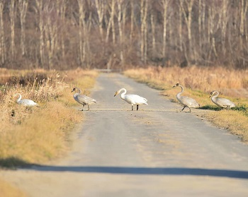 Whooper swan march in Naganuma