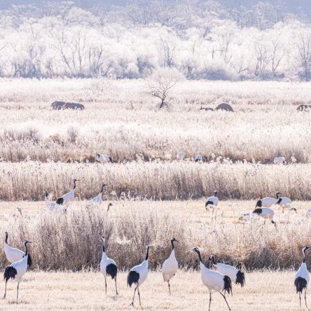 Cranes and snow scene in Tsurui