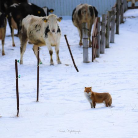 Fox and Cows in Koshimizu